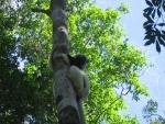 Un lémurien dans son arbre